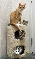 Kitty Condo (BlueRidgeKitties) Tags: orange white cat tabby adoptable wataugahumanesociety cc1000 canonpowershotsx40hs