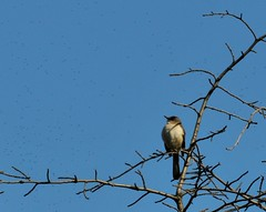Mockingbird and Flies (HorsePunchKid) Tags: brooklynbotanicgarden taxonomy:order=passeriformes taxonomy:class=aves taxonomy:kingdom=animalia taxonomy:phylum=chordata taxonomy:family=mimidae taxonomy:genus=mimus taxonomy:binomial=mimuspolyglottos taxonomy:claderoot=animalia clade:Animalia=chordata clade:Chordata=aves clade:Aves=passeriformes clade:Passeriformes=mimidae clade:Mimidae=mimus clade:Mimus=polyglottos