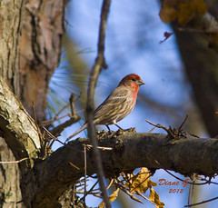 Male House Finch (Diane G. Zooms) Tags: ngc finch npc housefinch purplefinch coth malehousefinch coth5 sunrays5