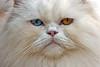 1955 (fpizarro) Tags: blue white minasgerais yellow azul persian eyes olhos mg amarelo gato belohorizonte whitecat bh cato persa persiancat gatopersa gatobranco fpizarro fizinho