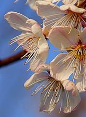 Pink On Blue (Oldt1mer - Keith) Tags: pink blue sky flower petals close blossom sony stamen a65 mygearandme mygearandmepremium mygearandmebronze mygearandmesilver mygearandmegold mygearandmeplatinum mygearandmediamond sonya65 slta65