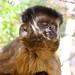 Macaco-prego / Capuchin monkey