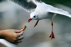 IMG_2115 (Boon Chin) Tags: bangpu brownheadedgull