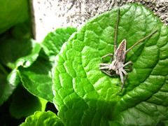 IMG_5738 Mademoiselle (Kinse) Tags: verde green leaf foglia verte araigne feuille ragno ider pisauramirabilis
