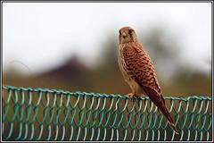 Gheppio femmina (Falco tinnunculus) (Luciano Silei - sky7) Tags: friuli falcotinnunculus osoppo gheppio canon450d sigma150500
