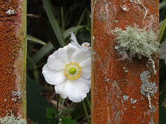 I see you! (Home Land & Sea) Tags: newzealand white flower fence wooden nz lichen sonycybershot hff japaneseanemone explored tikokino centralhawkesbay fencedfriday homelandsea dschx100v
