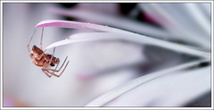 Spider hangs on a petal (Sandra-Photographie) Tags: macro insect spider insectes araigne