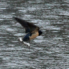 Swallow-Barn-IMG_5404 copy-crop (mandovinnie) Tags: barn swallow