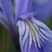 Wild Iris by Mia Mestdagh