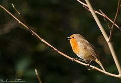 Sunshine singing (Billy Clapham) Tags: life park flower bird nature robin spring wildlife bees sheffield 70300mm botanicalgardens vr nikond3200 billyclapham