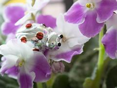 coccinella_Chieri2014_P4121457 copia (stegdino) Tags: flower reflection smile up silver sorriso argento coccinella fior ladybirdbabacio