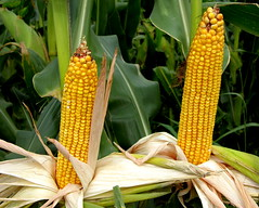Corn Ears (philwarren) Tags: plant green field yellow illinois corn country farming harvest iowa missouri crop ear farmer hybrid rowcrop