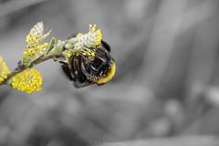 Bumblebee (bernd obervossbeck) Tags: macro bumblebee ck makro hummel macrophotography colourkey makrofotografie canonef100mm128lisusm