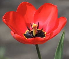 the first tulip into my garden (sabrina. G) Tags: rot april makro garten frhling tulpe welikeit masterphotos takenwithlove dieerste thegoldenachievement goldenachievement pandaonflickr