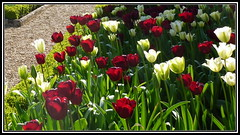 1-P1050598 Red and white Tulip bed (hartley_hare7491) Tags: bed tulip
