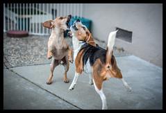 Head to head (melekzek) Tags: max beagle dogs maya ef50mmf14 cheweenie canoneos5dmkiii