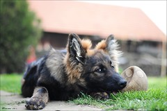 Don (Hansmannn) Tags: dog dogs don alsatian donek alsaciano německý ovčák