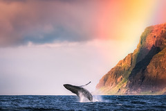 Na Pali Gold (Silent G Photography) Tags: travel sunset seascape hawaii boat rainbow df day pacific earth wildlife telephoto adobe kauai planet whale humpback migration polarizer humpbackwhale napali earthday gardenisland breach reallyrightstuff planetearth napalicoast 2014 rrs travelphotography gardenisle niksoftware markgvazdinskas silentgphotography silentgphoto nikondf mybeautifulplanet