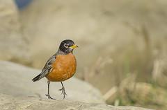Taking a walk (mizzginnn) Tags: park red bird robin spring common nikond7000