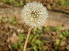 5-1-14 026 (LeeLee's pictures) Tags: 5114 mississippiriver woods nature dandelions yellow flower wildflower weeds makeawish white flyaway