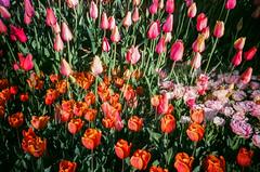 Spring Flowers 2016 (cgc76) Tags: color film gardens brooklyn 35mm botanical spring lomo lca exposure tulips superia iso 400 montage multiple fujifilm xtra 2016