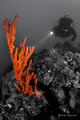 Axinella cannabina (Yiannis Iliopoulos) Tags: underwater outdoor dive scuba diving scubadiving diver reef sponge sponges