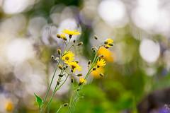 Living in a bubble (Ans van de Sluis) Tags: flower nature floral yellow botanical spring flora colours bokeh bubble botanic colourful hortus bokehlicious ansvandesluis