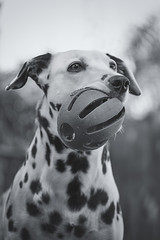 Jolie (Cruzin Canines Photography) Tags: blackandwhite dog pet pets cute dogs nature girl monochrome animal animals female canon ball toy outside mammal outdoors pretty naturallight canine domestic jolie tamron dalmatian domesticanimal 5ds canon5ds eos5ds tamron28300mmf3563divcpzd canoneos5ds