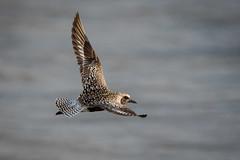 Flyby (gseloff) Tags: bird surf texas wildlife bif blackbelliedplover galvestoncounty gseloff bolivarflatsshorebirdsanctuary