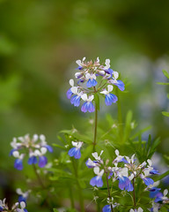 Along the path.. (zoomclic) Tags: park blue plant flower green nature closeup canon spring colorful dof bokeh foliage dreamy wildflower cedarcreekpark saveearth 5dmarkii zoomclicphotography