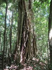 """Santa Elena: un ficus, arbre parasite qui encercle un autre arbre jusqu'à le faire mourir. Reste alors le ficus creux. <a style=""""margin-left:10px; font-size:0.8em;"""" href=""""http://www.flickr.com/photos/127723101@N04/26928059171/"""" target=""""_blank"""">@flickr</a>"""