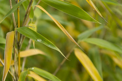 Single water drop (FailureCriteria) Tags: water nikon drop bamboo wassertropfen bambus
