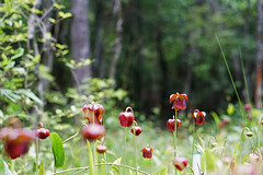 Mountain sweet pitcher plant patch in Butt CPA (USFWS/Southeast) Tags: plant bogs pitcher usfishandwildlfieservice