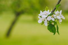White Blossoms | Spring 2016 #142/365 (A. Aleksandraviius) Tags: white tree green apple spring nikon soft bokeh blossoms 85mm 365 nikkor 85 lithuania lietuva 2016 nikon85mm project365 f14g d810 nikkor85mm 85mmf14g 142365 nikond810 nikoneurope nikon85mm14g 3652016