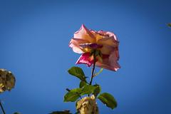 Rosa (seguicollar) Tags: madrid flores flower plantas flor rosa vegetal rosaleda parquedelretiro nikond5200 virginiasegu