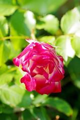 Cherry Parfait rose (Niki Gunn) Tags: flowers roses flower macro rose pentax may tamron 90mm k5 tamron90mm 2016 tamron90mmf28 tamron90mmmacro tamronspaf90mmf28