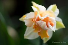 (Sous l'Oeil de Sylvie) Tags: flower macro fleur spring pentax bokeh may arboretum stgeorges mai qubec printemps pdc beauce tamron90mm ks2 macrophotographie sousloeildesylvie