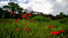 Champ de coquelicots... Field of poppies.. [in explore] (Isa****) Tags: coquelicots