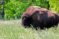 American Bison (KC Mike D.) Tags: wild grass animal buffalo american bison herd grasslands