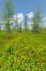 Bog (wackybadger) Tags: sky tree wisconsin clouds nikon bluesky bog tamarack usda usfs usforestservice usnationalforest larixlaricina chequamegonnicoletnationalforest ashlandcounty wisconsinstatenaturalarea nikond7000 sigma1020mmf4exdchsm sna433 blackcreekbogsna