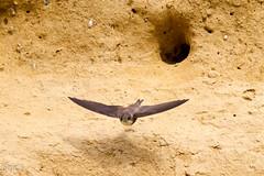 Hirondelle de rivage (Oric1) Tags: 22 canoneos7d france oric1 planguenoual tamron150600 animal bird ctesdarmor hirondellederivage nest nid oiseau avian bretagne brittany breizh armor sand martin