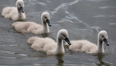 Signets at Stover (jane_haslam) Tags: elements swan signets stover