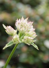 Astrantia, coming into bud (littlestschnauzer) Tags: astrantia flowers bud summer garden yorkshire uk fragility fragile delicate nikon d7200 2016 june flowering emley blooms bokeh