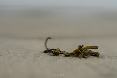 depth of field (Eisfried) Tags: sony a7 alpha7 mark2 minolta 50mm 14 belgien bredene strand algen seegras sand tiefenschrfe belgium beach depthoffield seaweed