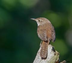 House Wren (Summerside90) Tags: birds birdwatcher housewren june summer backyard garden nature wildlife ontario canada