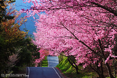 (nodie26) Tags: flower tour taiwan sakura                  aplusphoto