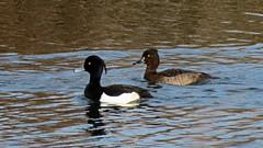 Record Shot Pair Tufted Duck Aythya fuligula (Rob Felton) Tags: lake bird bedford pair bedfordshire waterbird felton aythyafuligula tuftedduck 100acre robertfelton bedfordrivervalleypark