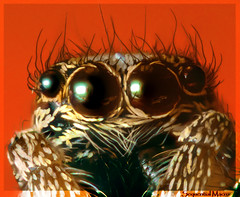 Anterior Median Eyes of an Adult Jumping Spider | Salticus Scenicus (SequentialMacro) Tags: macro closeup spider flash 28mm bellows jumpingspider macrophotography reversemacro salticusscenicus extensiontubes primelens highmagnification specanimal macrolife ukspiders afd360 sequentialmacro interioreyes