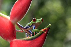 Ribbit In The Rainforest (Megan Lorenz) Tags: red wild green eye nature rainforest costarica symbol wildlife amphibian frog getty february heliconia treefrog centralamerica 2012 agalychniscallidryas redeyedtreefrog gaudyleaffrog mlorenz meganlorenz photocontesttnc12