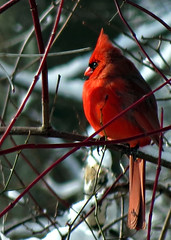 Cardinal 12.03.10 0259 (rowland-w) Tags: winter red snow bird cardinal